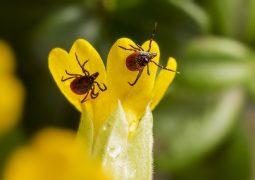 Borreliose   Lyme Diseases